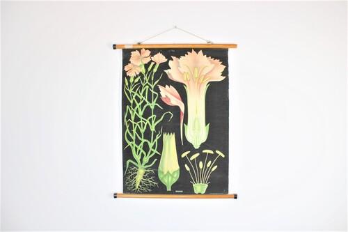 thumbnails bij product oude botanische schoolplaat: de anjer