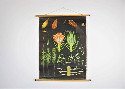 """thumbnails bij product School chart of moss """"Polytrichum commune, Haarmoos"""""""