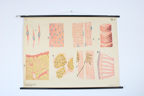 thumbnails bij product old medical school chart: muscle tissue