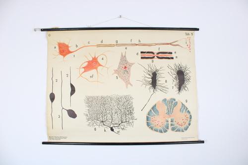 thumbnails bij product oude medische schoolplaat: Zenuwweefsel