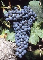 cesar druiven
