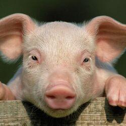afbeelding bij artikel Zullen we ooit een varkenshart kunnen gebruiken voor transplantatie?