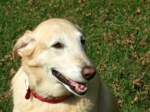 foto bij artikel Kunnen honden een te lage suikerspiegel van hun diabetisch baasje 'ruiken'?